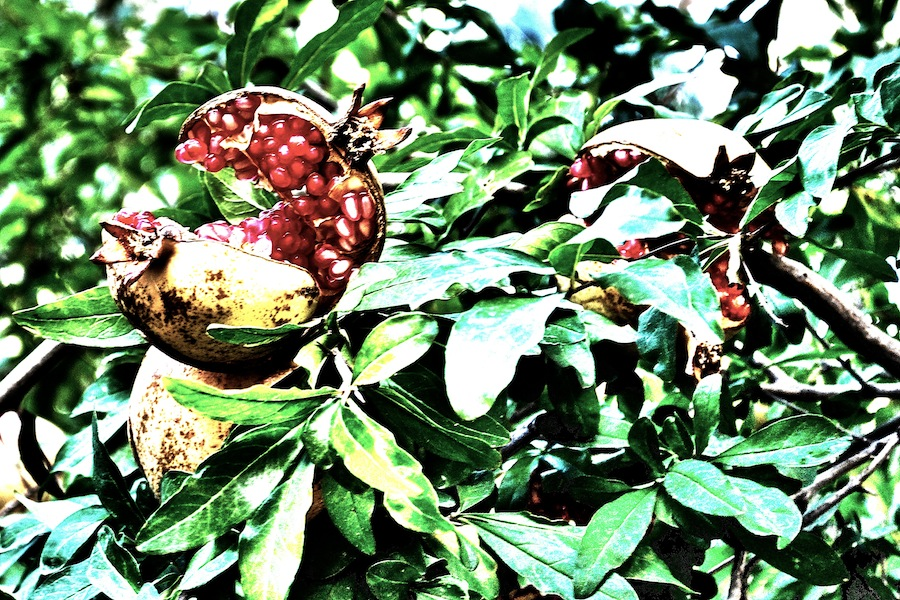 Pomegranates In The Sun