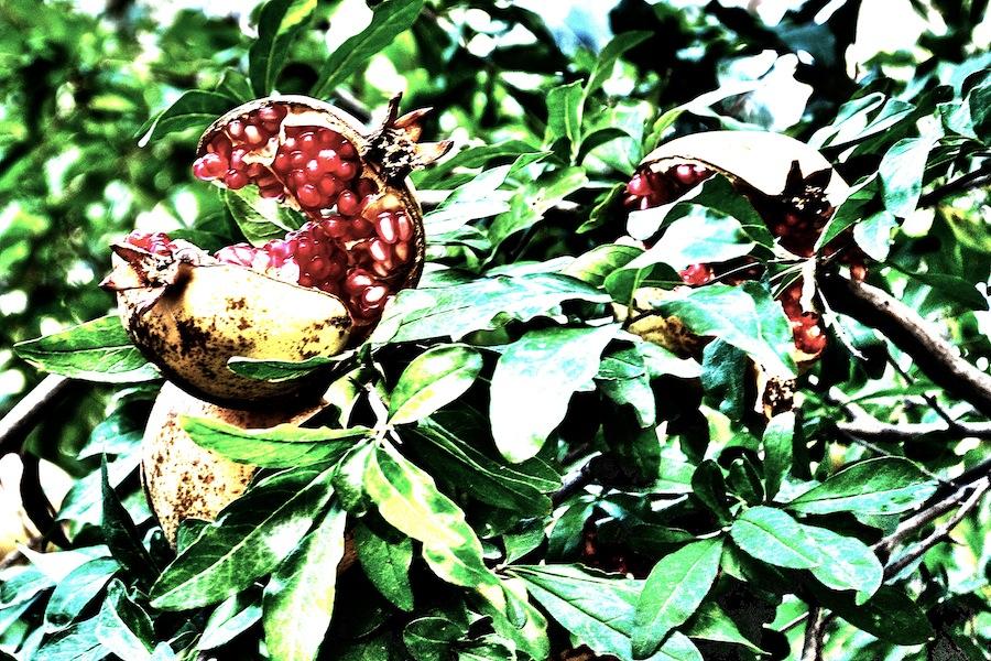Pomegranates In The Sun