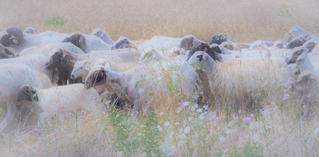 ...And Dream Of Sheep