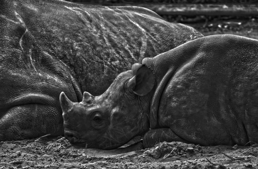 Lullaby For A Baby Rhinoceros