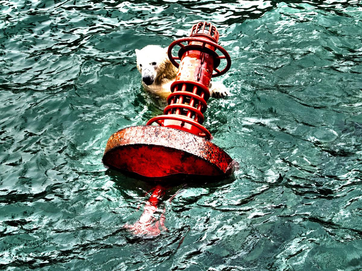 Polar Bear In Distress