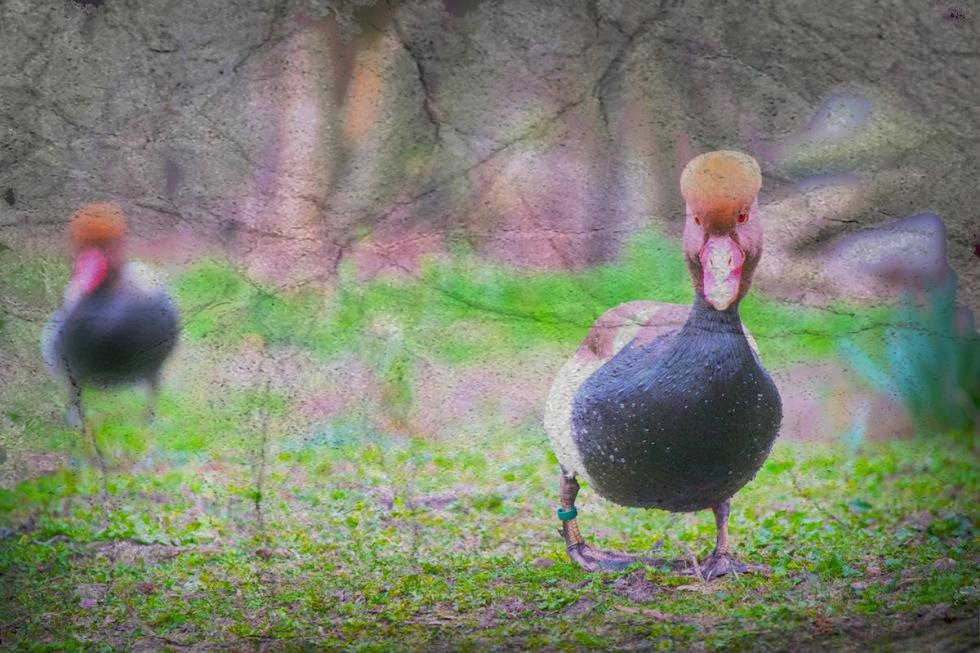 Ducks, Outside The Lake