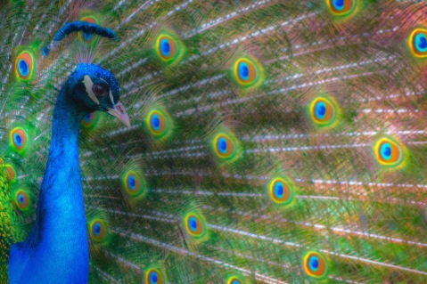 The Colours Of The Peacock