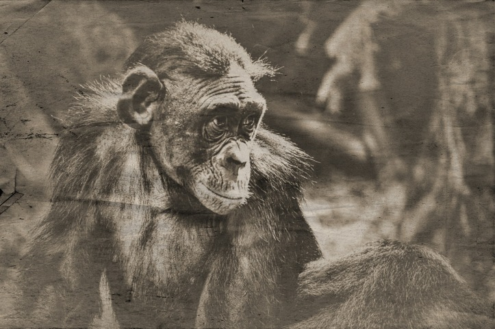 The Bonobo Is An Ape That Belongs To The Species Of The Genus Pan