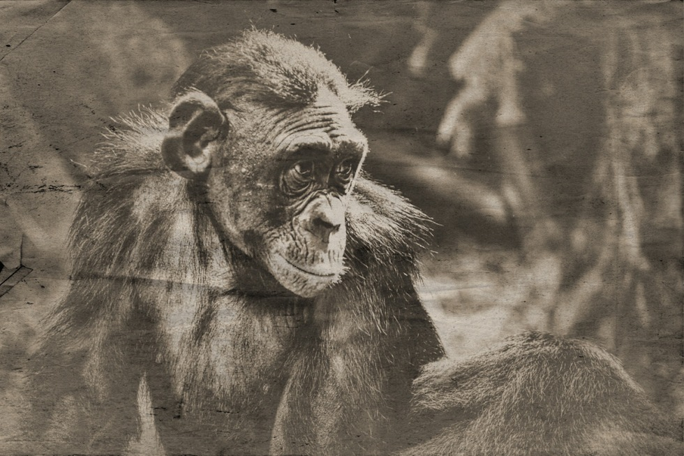The Bonobo Is An Ape That Belongs To The Species Of The Genus Pan