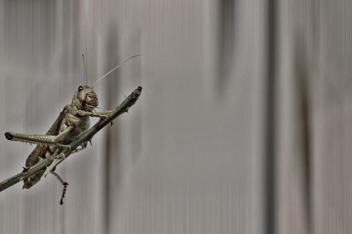 A Locust On A Twig