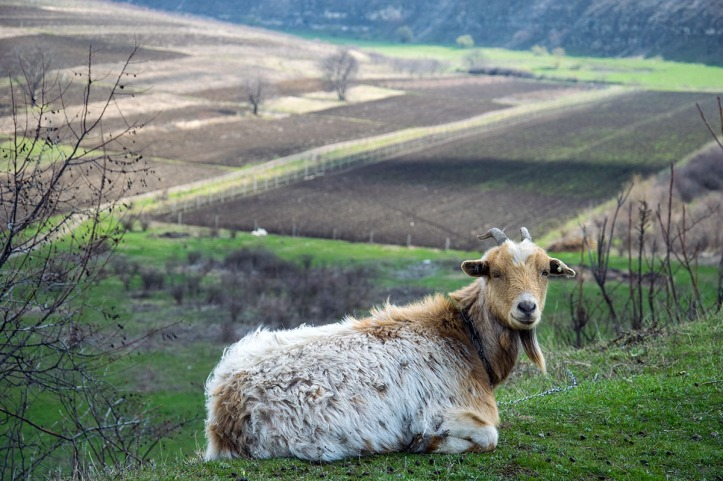 goat_with_landscape-rabirius