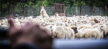 Driving Through A Flock Of Sheep