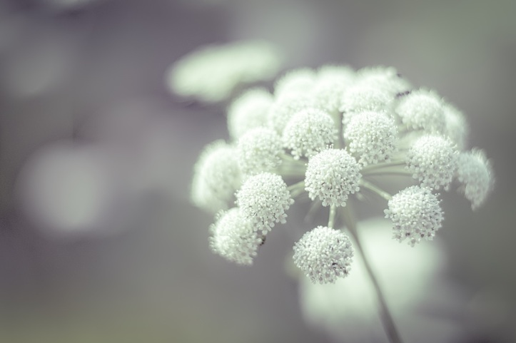 White Umbels of  Flowers