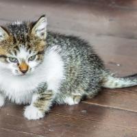 The Blushing Kitten