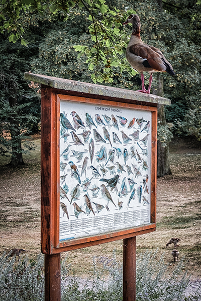 Native Songbirds