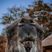Camels Don't Bite, Do They?