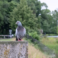 Pigeon On A Block Of Stone